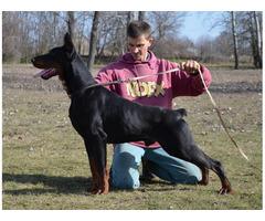 Wir verkaufen qualitativ hochwertige Dobermann-Welpen im Zwinger Madaras-Puszta.