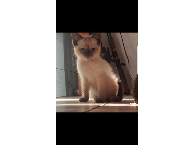 Meekong bobtail Katze